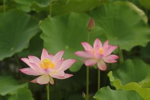 蓮の花の写真素材 [FYI01244491]