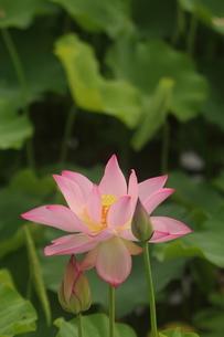 蓮の花の写真素材 [FYI01244493]
