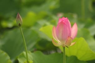 蓮の花の写真素材 [FYI01244494]