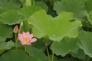 蓮の花の写真素材 [FYI01244495]