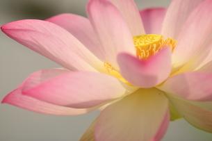 蓮の花の写真素材 [FYI01244498]