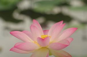 蓮の花の写真素材 [FYI01244499]