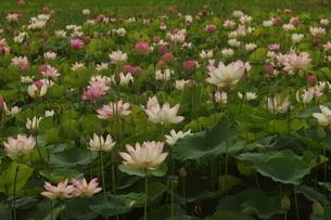 蓮の花の写真素材 [FYI01244501]