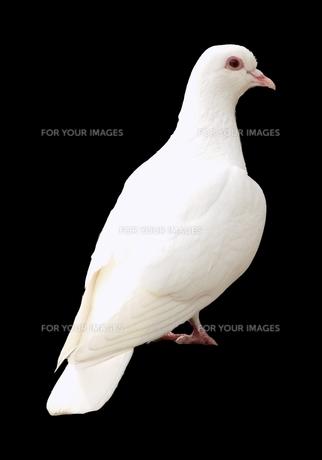 白い鳩 White dove pigeon 切り抜きの写真素材 [FYI01244598]