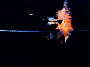 水面にとろける金魚の写真素材 [FYI01244663]
