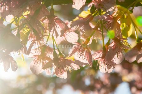 桜の写真素材 [FYI01244762]