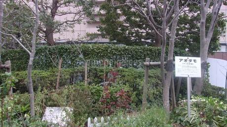 アオダモ(バットの木)の写真素材 [FYI01244862]