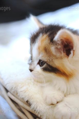 子猫の写真素材 [FYI01244890]
