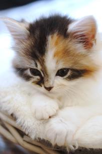 子猫の写真素材 [FYI01244903]