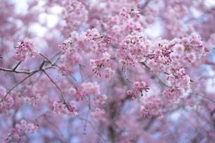 八重枝垂桜の写真素材 [FYI01244904]