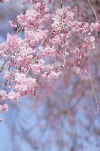 八重枝垂桜の写真素材 [FYI01244906]
