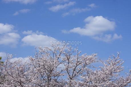 桜と青空と白い雲の写真素材 [FYI01244907]