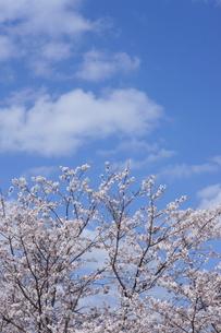 桜と青空と白い雲の写真素材 [FYI01244908]