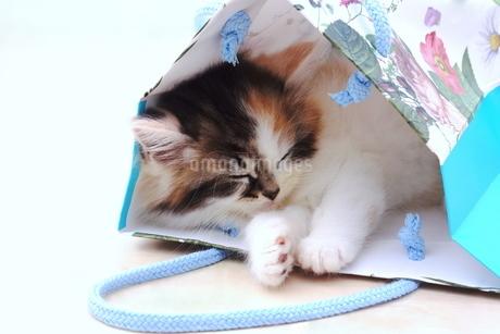 大好きな袋で寝る子猫の写真素材 [FYI01244935]