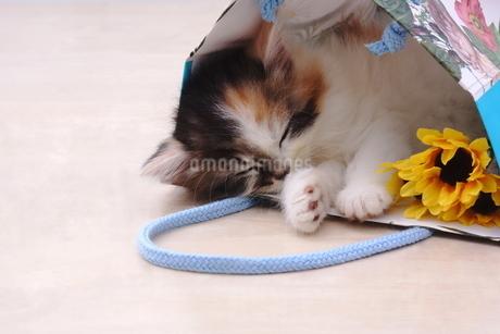 大好きな袋で寝る子猫の写真素材 [FYI01244937]