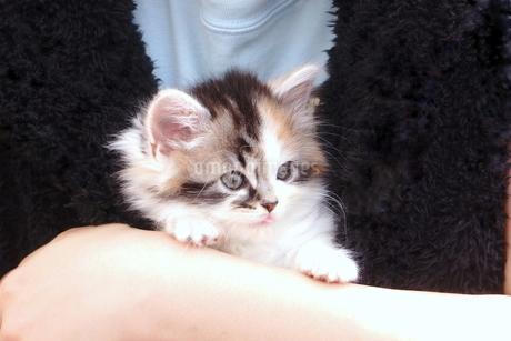 抱っこされる子猫の写真素材 [FYI01244939]