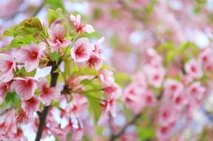 晴れた日の桃色の河津桜の写真素材 [FYI01245011]