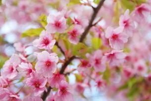 晴れた日の桃色の河津桜の写真素材 [FYI01245014]