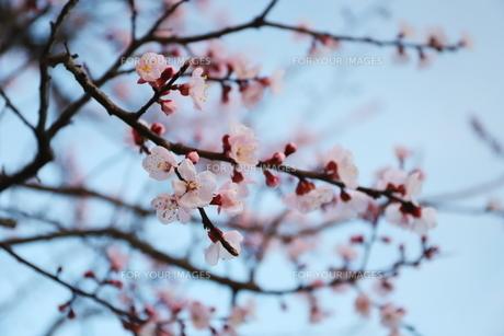 春 満開の桃色の梅の花の写真素材 [FYI01245021]