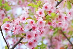 晴れた日の桃色の河津桜の写真素材 [FYI01245028]
