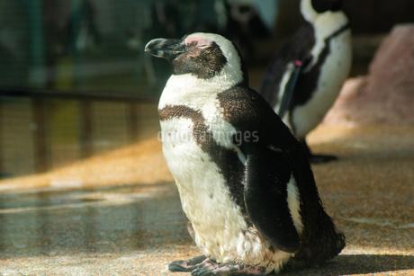 日向ぼっこのペンギンの写真素材 [FYI01245070]