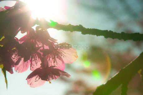 逆光の桜の写真素材 [FYI01245073]