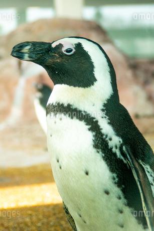 ペンギン1の写真素材 [FYI01245076]