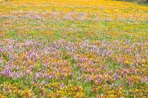 伊豆のお花畑の写真素材 [FYI01245291]