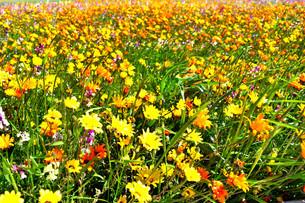 伊豆のお花畑の写真素材 [FYI01245293]