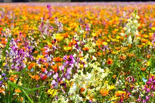 伊豆のお花畑の写真素材 [FYI01245294]