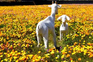 伊豆のお花畑の写真素材 [FYI01245295]