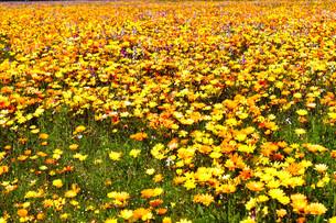 伊豆のお花畑の写真素材 [FYI01245297]