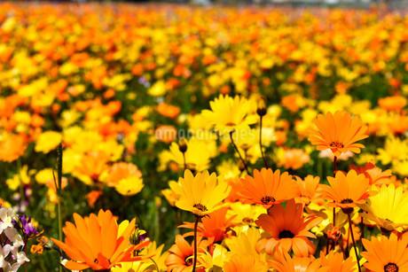 伊豆のお花畑の写真素材 [FYI01245298]