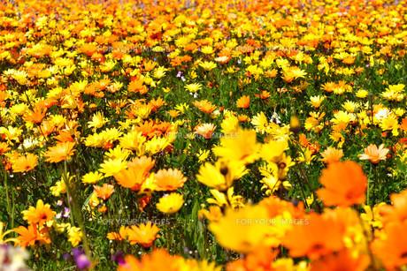 伊豆のお花畑の写真素材 [FYI01245299]