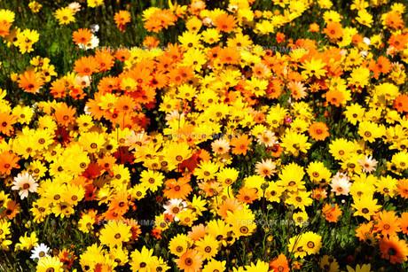 伊豆松崎のお花畑の写真素材 [FYI01245300]