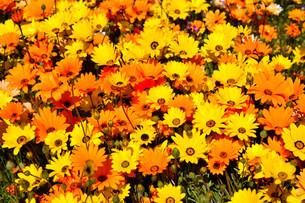 伊豆松崎のお花畑の写真素材 [FYI01245303]