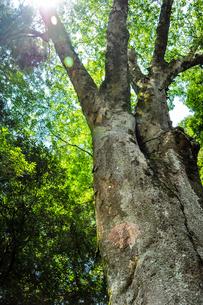 降り注ぐ太陽光と大きな木の写真素材 [FYI01245341]