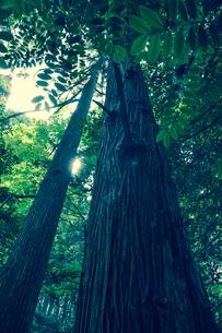 真っ直ぐ伸びた木の写真素材 [FYI01245345]