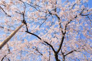 青空と桜の写真素材 [FYI01245348]