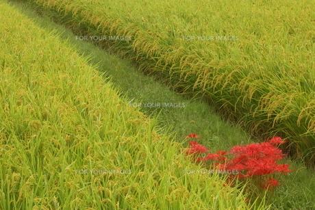 彼岸花の写真素材 [FYI01245361]