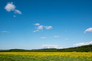 黄色い花が満開の春の野原と残雪の山並み 大雪山の写真素材 [FYI01245371]