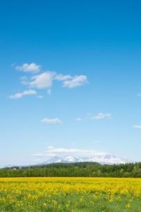 黄色い花が満開の春の野原と残雪の山並み 大雪山の写真素材 [FYI01245372]