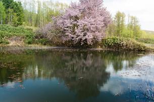 池の畔の満開のサクラの写真素材 [FYI01245384]