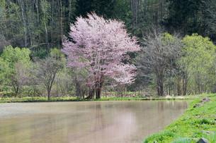 水田に写る満開のサクラの写真素材 [FYI01245387]