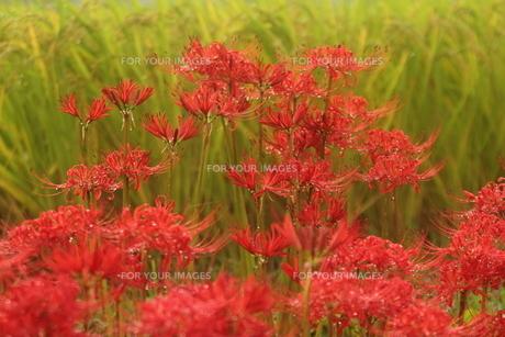 彼岸花の写真素材 [FYI01245390]