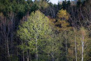 新緑のシラカバの写真素材 [FYI01245391]