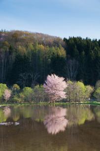 水田に写る満開のサクラの写真素材 [FYI01245392]