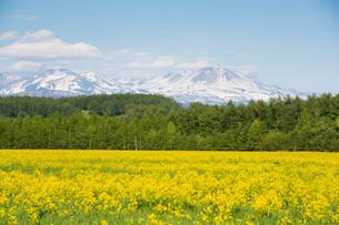 黄色い花が満開の春の野原と残雪の山並み 大雪山の写真素材 [FYI01245393]