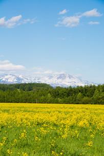 黄色い花が満開の春の野原と残雪の山並み 大雪山の写真素材 [FYI01245394]