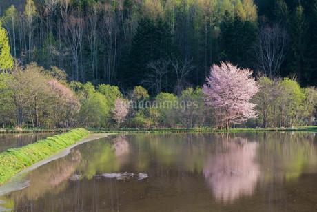 水田に写る満開のサクラの写真素材 [FYI01245398]